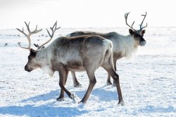 Русский север и цены на бензин — 60 кг оленьих рогов за литр